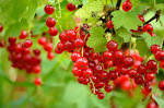 Images & Illustrations of currant