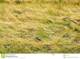 Field of Tall Grass stock photo Image of lawns grown 2978522