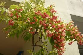 99 Best Vines In The Philippines Images On Pinterest  Vines The Wall Climbing Plants India