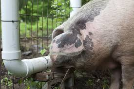 how to make a pig waterer