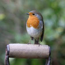 Birdwatch: the robin is one of our most familiar birds – yet it can still  surprise us   Birds   The Guardian