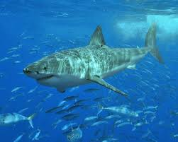 tiger shark iphone wallpaper.  Wallpaper Tiger Shark With Fish Wallpaper  Animal Backgrounds On Iphone L