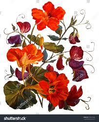 nasturtium and sweet peas flowers isolated on white background botanical ilration watercolor painting