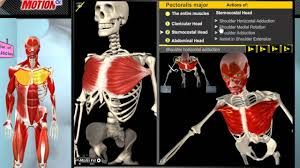 Kinesiology Muscle Chart How The Muscles Work 3d Anatomy Diagrams