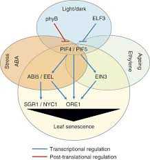 phytochrome interacting transcription factors pif4 and pif5 induce figure 7