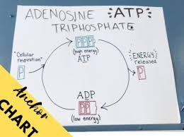 Atp Chart Atp Adp Anchor Chart Morgan T