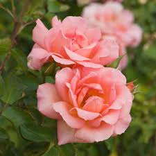 Image result for images of rose