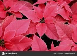 Gruppe Von Rosa Weihnachtsstern Stockfoto Portosabbia