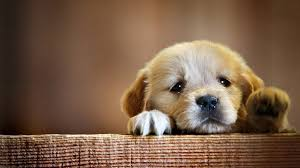 most beautiful dogs wallpapers. Wonderful Wallpapers Golden Retriever Puppy Wallpaper With Most Beautiful Dogs Wallpapers A