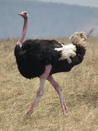 featherless ostrich. Brilliant Ostrich Photo Gallery Of Ostrich For Featherless Ostrich