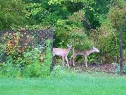 deer repellent for gardens. How To Deter Deer From Garden Photo Smith Repellent Plants For Gardens