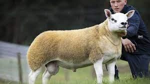 بيع خروف بقرابة نصف مليون دولار يجعله الأغلى في العالم - أريبيان بزنس
