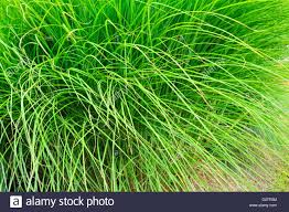 Tall Decorative Grass Tall Ornamental Grass Stock Photo Royalty Free Image 53405456