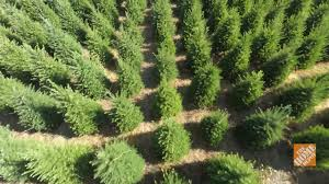 Cut Your Own Local Christmas Tree Farm  NorthEscambiacomLocal Christmas Tree Lots