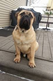 Bullmastiff Height And Weight Chart Bullmastiff Dog Breed Information And Pictures