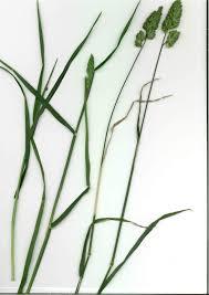 Dactylis glomerata subsp. hispanica