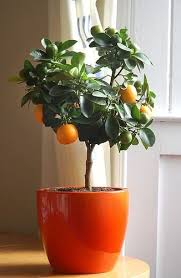Growing Citrus Indoors 5 Helpful Tips  Apartment Therapy Indoor Fruit Trees Low Light