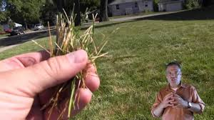 Dollar Spot Lawn Fungus Disease Control And Prevention