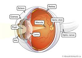 Eye Anatomy And Function