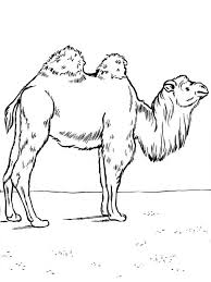 Small Picture Camel Coloring Page Miakenasnet