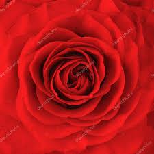 rose flower oil painting stock photo