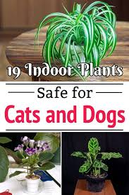 low light indoor plants safe for cats