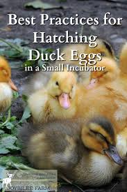 you can hatch duck eggs successfully at home with these tips