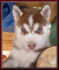 red husky puppy blue eyes. Simple Red Red Husky Puppies With Blue Eyes For Sale  Zoe Fans Blog Throughout Red Husky Puppy Blue Eyes D