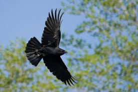 Image result for american crow
