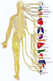 Back Nerve Chart Chiropractor Cranston Richiropractic Charts Diagrams