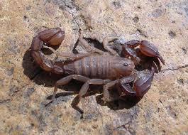 Scorpion: Pseudouroctonus apacheanus