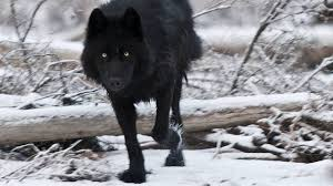 black wolf wallpaper 1920x1080. Wonderful Black 1920x1080 Black Wolf Wallpapers Hd Cool Phone Backgrounds Amazing Best  For Wolf Wallpaper W