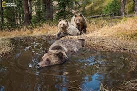 bear bathub yellowstone national park s