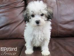miniature poodle male white brown 2315618 petland frisco tx