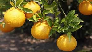 anese orange fruit tree stock