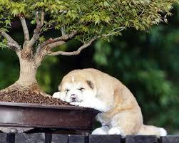 an gifts russia akita dog