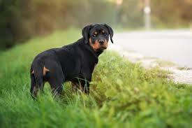 german rottweiler dog. adorable rottweiler puppy outdoors german dog