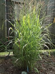 Tall Decorative Grass Similiar Tall Grass Bush Keywords