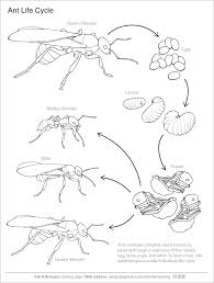 Small Picture Ant Handouts At Ask A Biologist Coloring Page itgodme