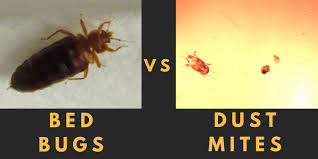bed bugs vs house dust mites 2 bed bug sizes98 bug