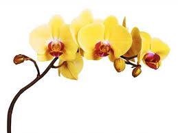 Lynn greyling ha rilasciato questa immagine orchidea fiore giallo con licenza di dominio pubblico. Descrizione Di Orchidea Gialla Farmer