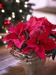 Pin Von Claudia Auf Weihnachten Weihnachtsstern Pflanze