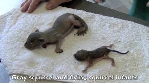 A Few Interesting Facts About Flying Squirrels Mnn