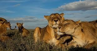 <b>Big Cats</b> Initiative | National Geographic Society
