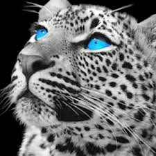 baby white cheetah. Modren Baby Baby White Cheetah With Blue Eyes  Photo1 Inside White Cheetah L