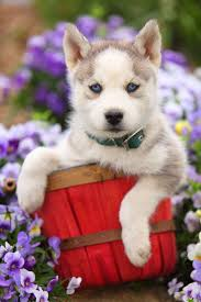 husky puppy that loves nature