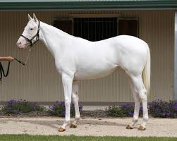 white horses. Interesting Horses These Horses Used To Be Rare And Are Now Becoming Increasingly Common  There Is Even A Farm Entirely Dedicated Breeding White Thoroughbreds  Kentucky  Inside White Horses