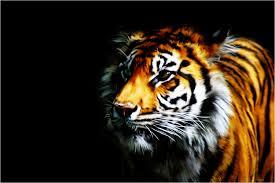 tiger wallpaper desktop. Plain Desktop Web PC Backgrounds Best Tiger Wallpapers In High Quality Justina Heim  067 Mb  In Wallpaper Desktop I