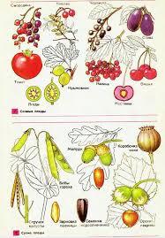Плоды и семена Гипермаркет знаний Плоды и семена