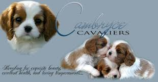 cambryce cavalier king charles spaniel puppies and dogs in tucson arizona